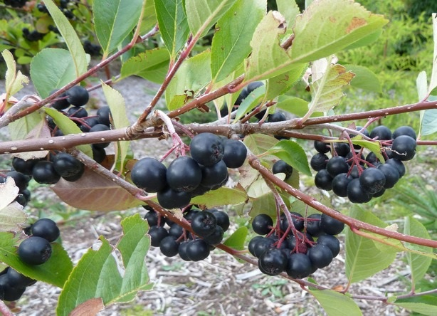 Aronia melanocarpa for sale